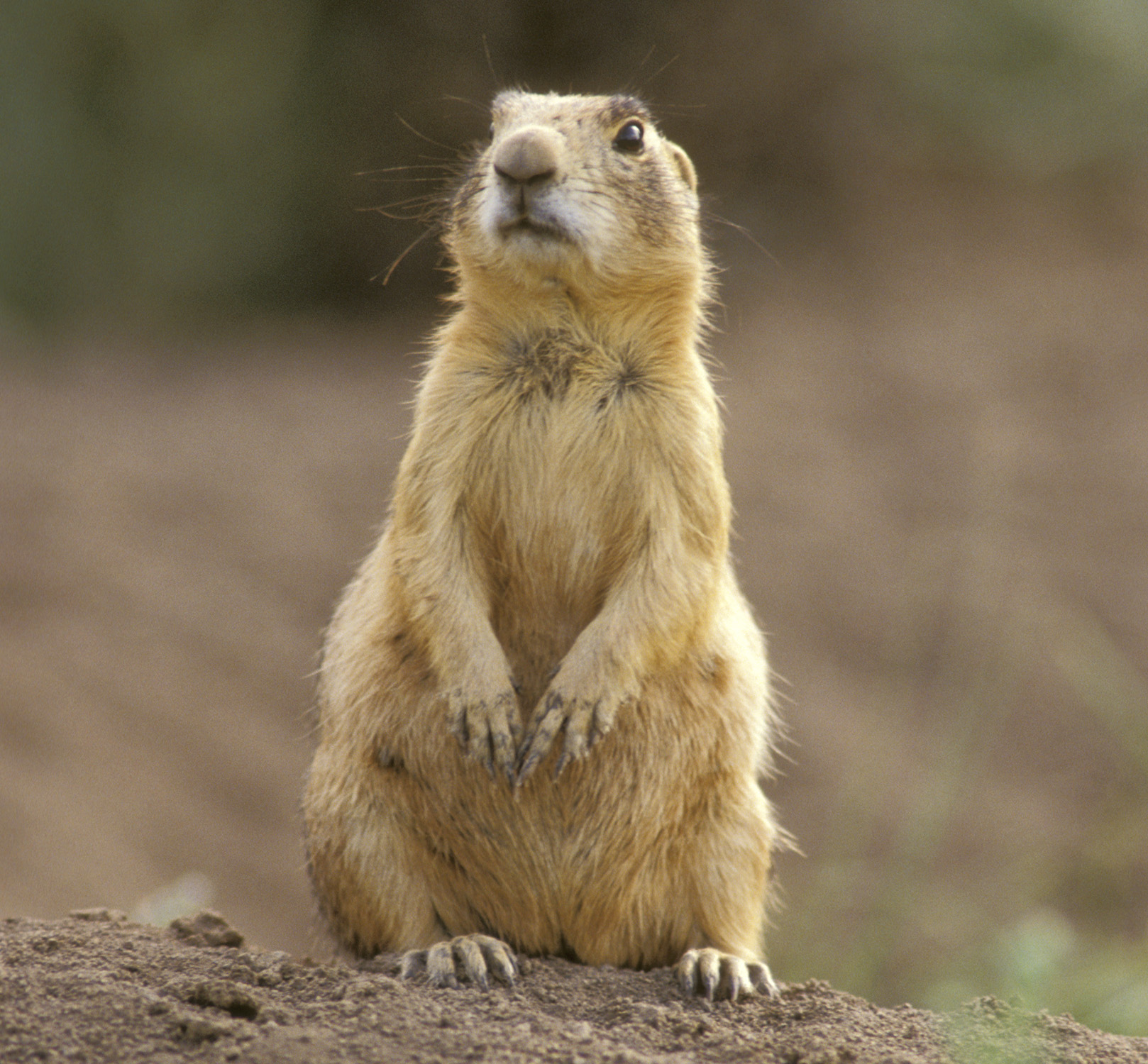 free downloading pics of prairie dog habitat